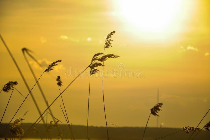 Hierbas en la puesta del sol fotografía de archivo