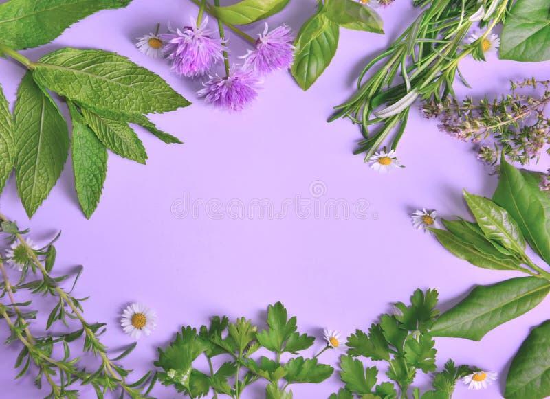 Hierbas frescas aromáticas con pocas margaritas en fondo púrpura foto de archivo libre de regalías