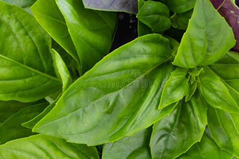 Hierbas frescas del jard?n. Albahaca verde, textura de fondo fotos de archivo libres de regalías