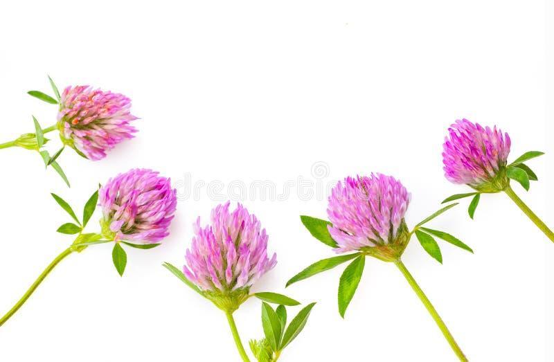 Hierbas medicinales de la flor del trébol o del trébol aisladas en el recorte blanco del fondo fotografía de archivo libre de regalías