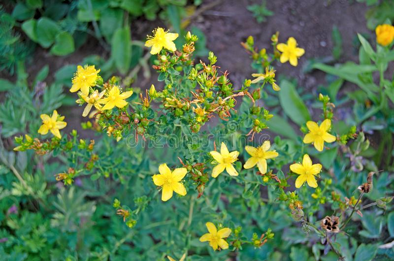 Hierbas medicinales del Hypericum en el jardín foto de archivo