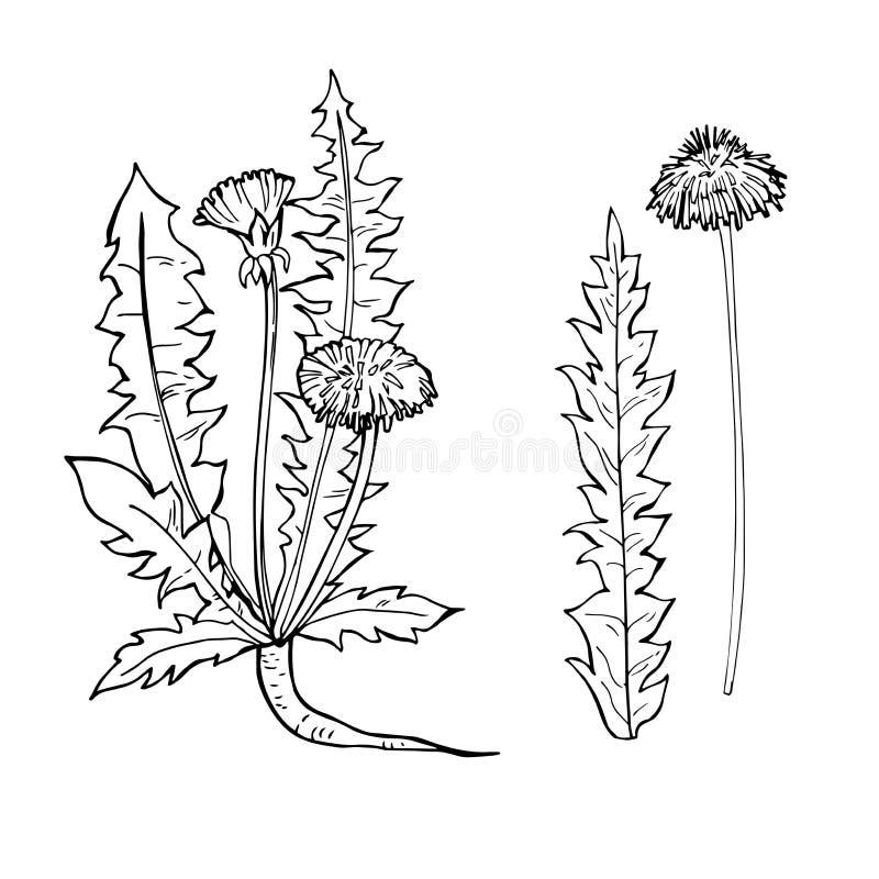 Hierbas medicinales exhaustas de la mano Ejemplo del bosquejo del vector stock de ilustración