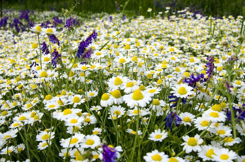 Hierbas medicinales: La margarita blanca del campo con las hojas verdes crece en el aire abierto fotos de archivo