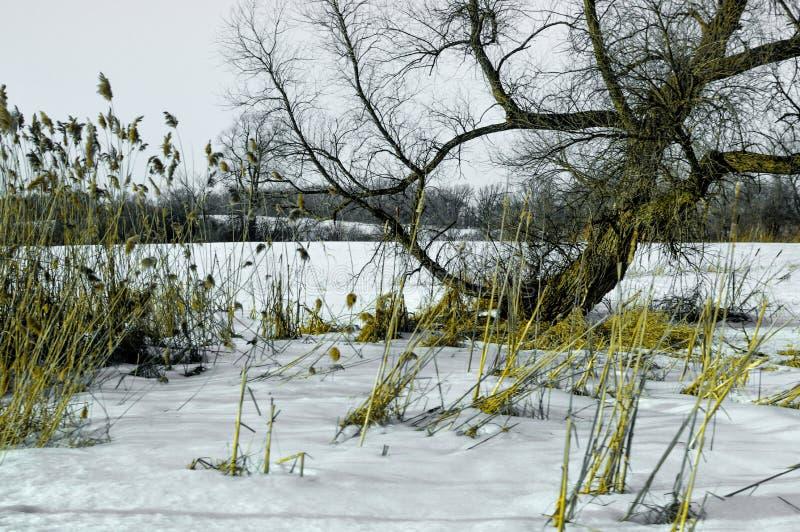Hierbas muertas y un árbol en nieve del invierno imagenes de archivo