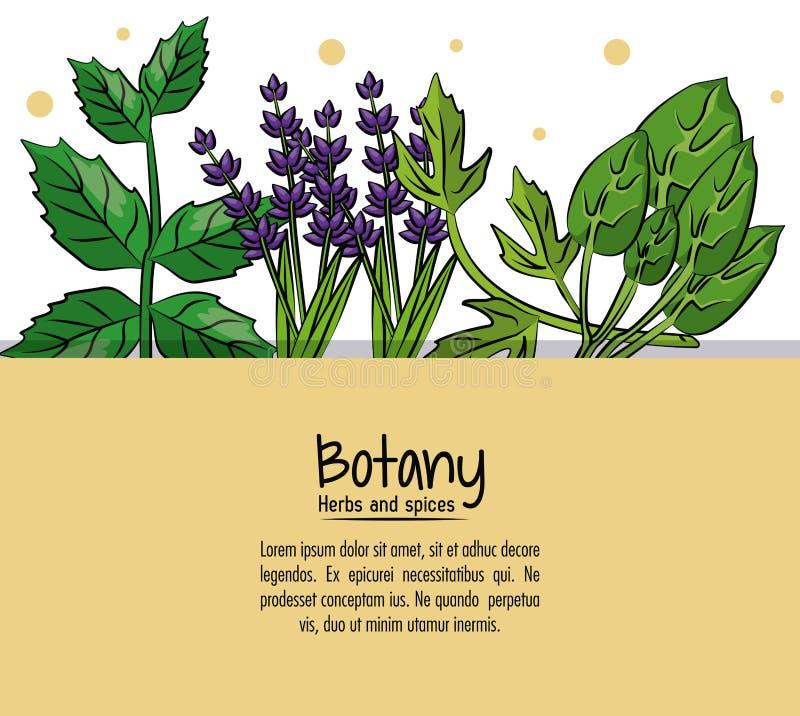 Hierbas y especias de la botánica ilustración del vector