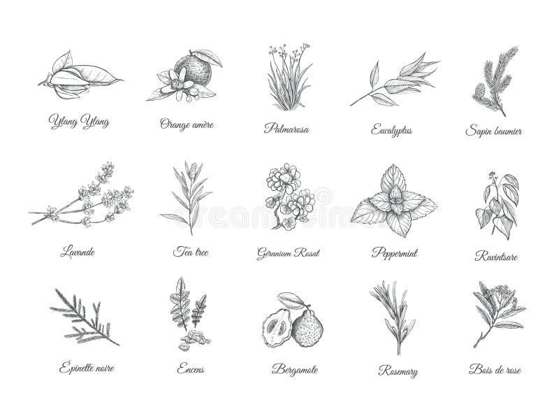 Hierbas y especias fijadas Plantas del bosquejo de la colección ilustración del vector