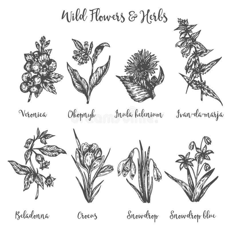 Hierbas y flores salvajes sistema del dibujo del vector Plantas y hojas aisladas del prado Flor de la vendimia ejemplo floral ade libre illustration