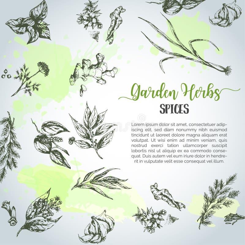 Hierbas y fondo de las especias Hierba, planta, sistema dibujado mano de la especia Hierbas orgánicas del jardín que graban Bosqu ilustración del vector