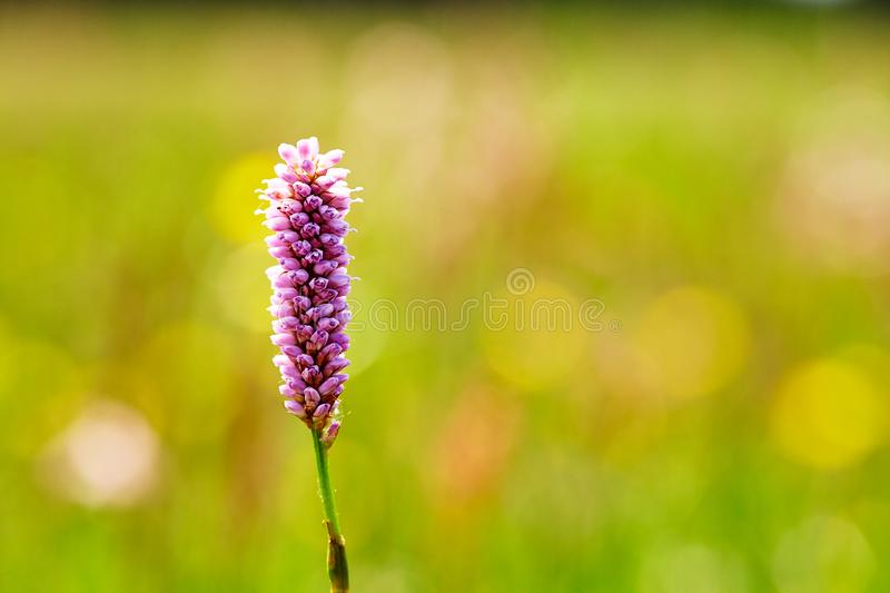 Hierochloe is a genus of plants in the grass family. Sweetgrass. Close-up. Hierochloe odorata or Anthoxanthum nitens - an aromatic herb native to northern stock images
