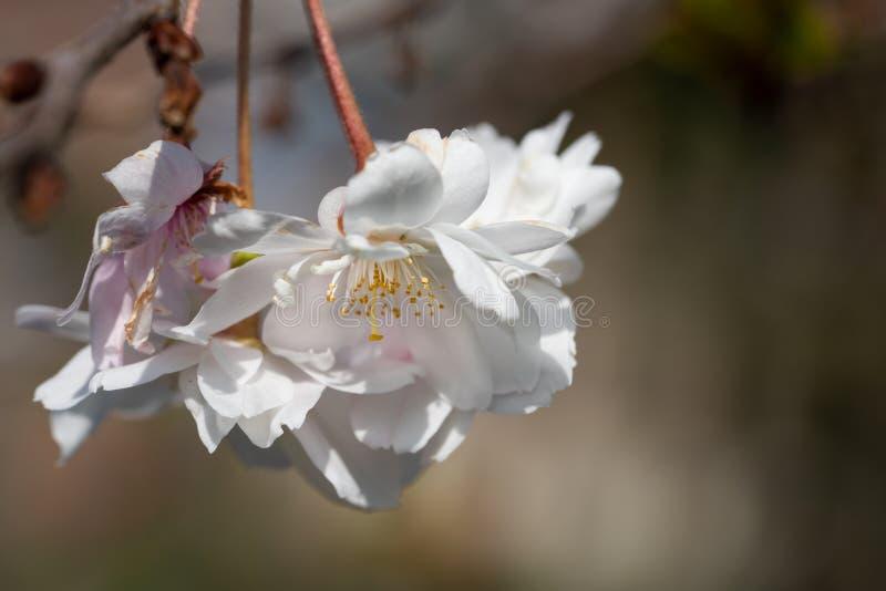 Higan cherry, Prunus subhirtella royalty free stock photo