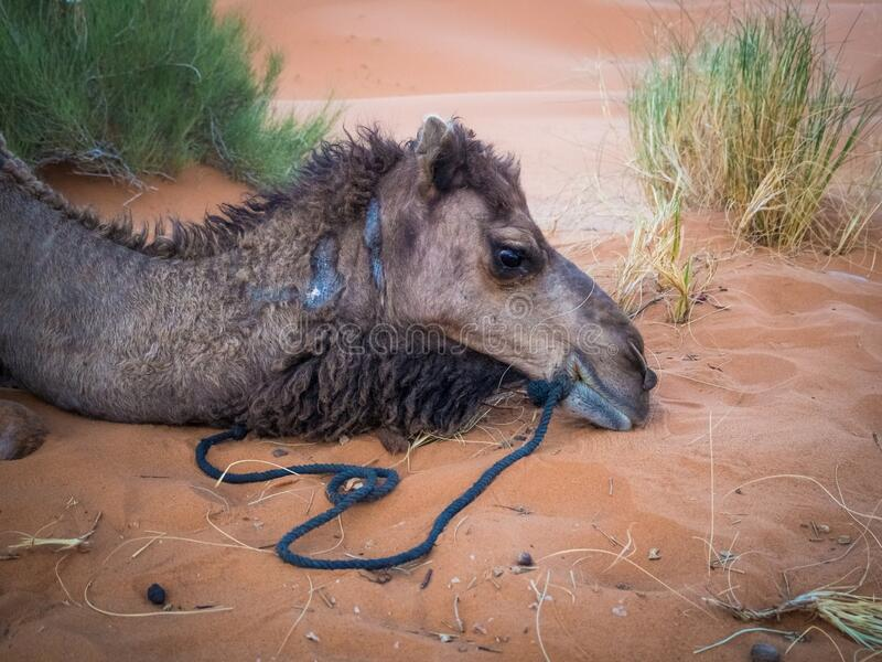High angle closeup shot of the face of an Arabian camel lying on the sand stock photo