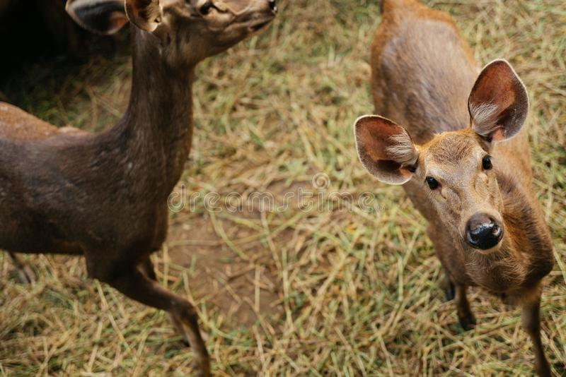 High angle shot of a deer looking towards the camera near another dead standing stock image