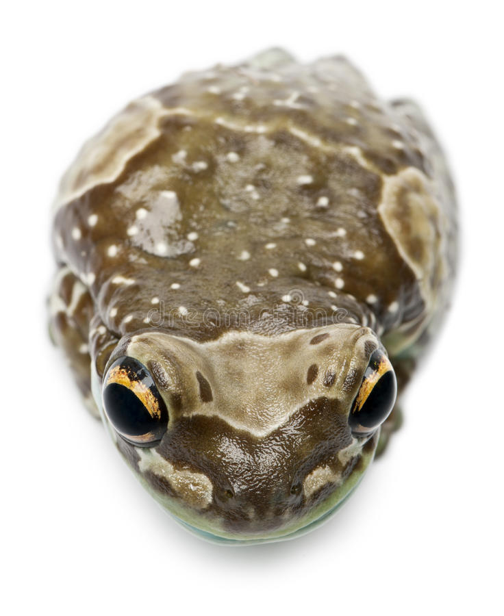 High angle view of Amazon Milk Frog stock images