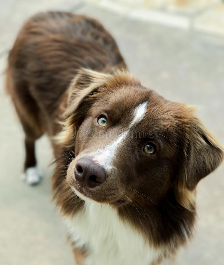 Brown and white border collie royalty free stock photography