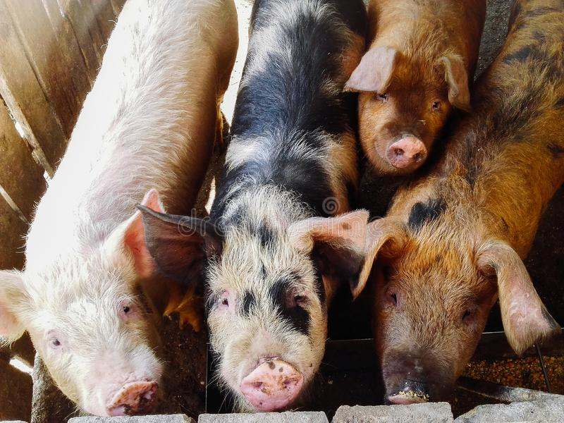 Close up of different color pigs on a pig farm stock photo