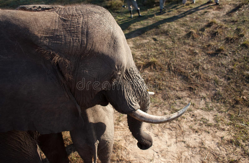 High angle view of elephant royalty free stock photography