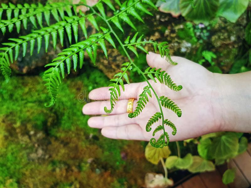 High Angle View of Fresh Green Fern Leaves Against Palm of Hand royalty free stock photography