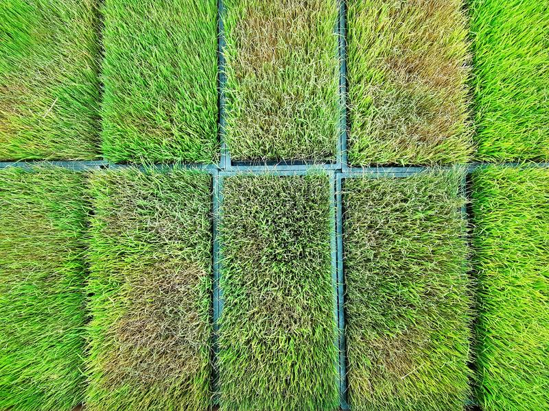High Angle View of Fresh Young Rice Plants at Plantation Field stock photography