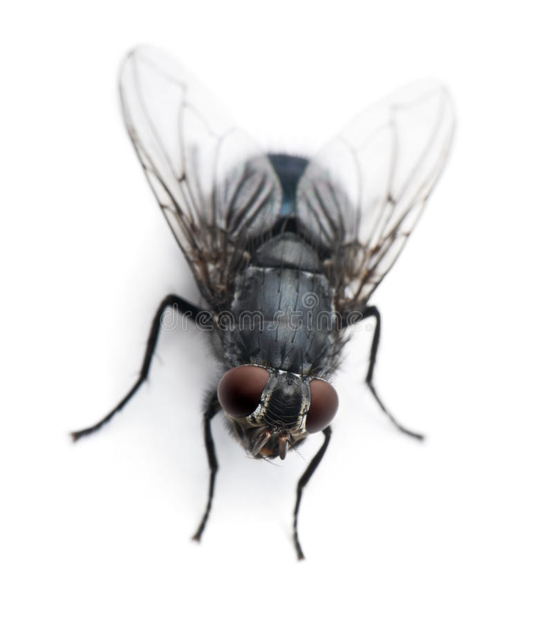 High angle view of Housefly, Musca domestica royalty free stock images