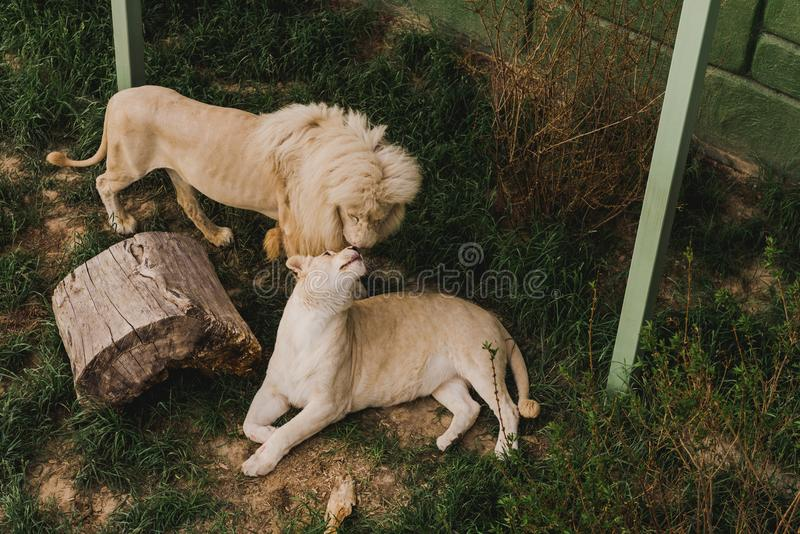 High angle view of lion and lioness rubbing heads. At zoo royalty free stock image