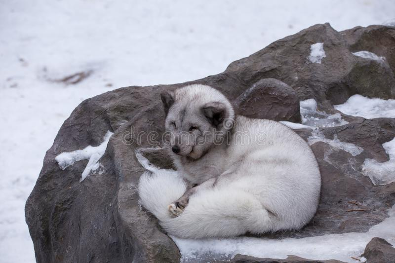 High angle view of pale silver fox with black and white claws curling up on large rock for a nap in winter stock photo