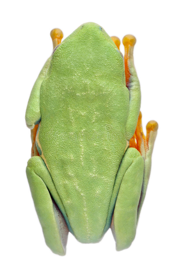Download High Angle View Of Red-eyed Treefrog Stock Photo - Image: 18990570