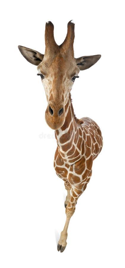 Download High Angle View Of Somali Giraffe Stock Photo - Image: 26644514