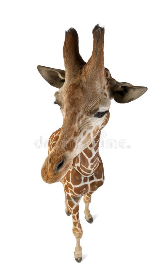 High angle view of Somali Giraffe