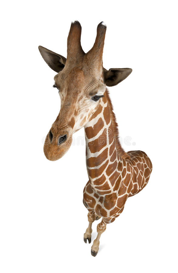 High angle view of Somali Giraffe. Commonly known as Reticulated Giraffe, Giraffa camelopardalis reticulata, 2 and a half years old standing against white royalty free stock photography