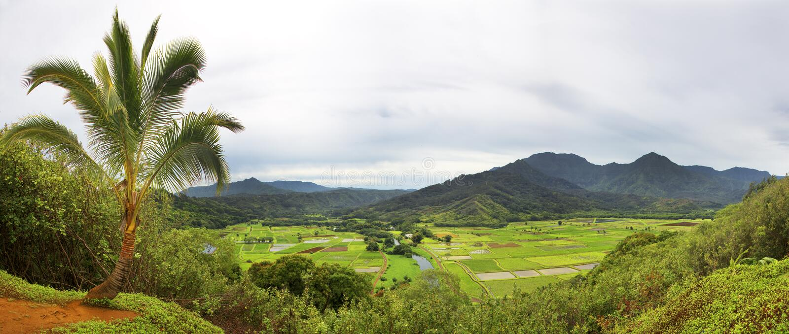 High angle view of Taro fields stock photos
