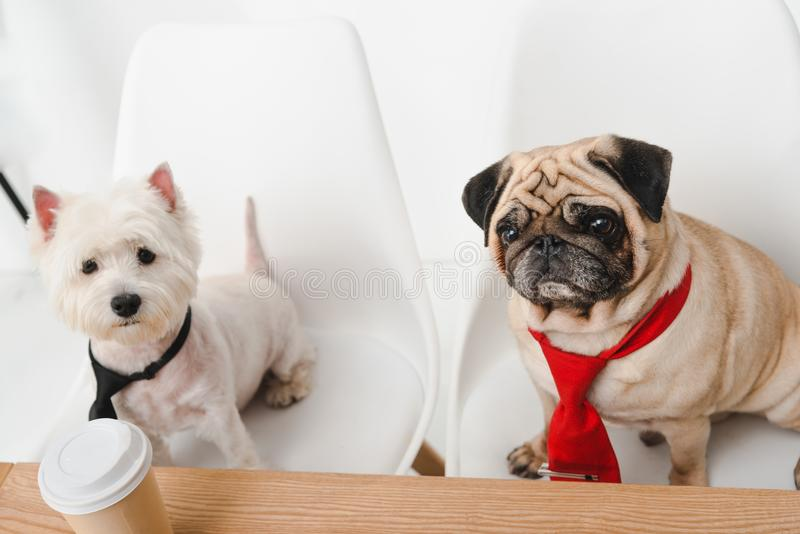 Business dogs in neckties royalty free stock photo