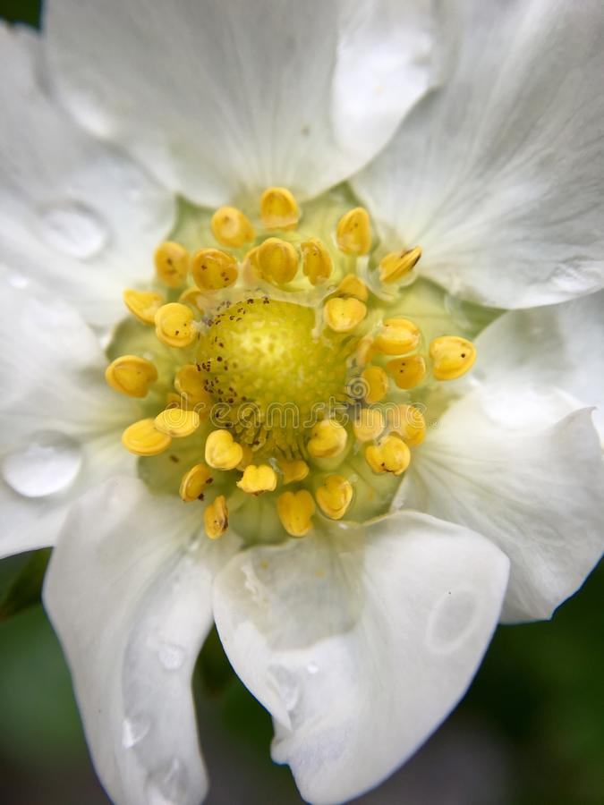 High angle view of a white blooming flower head of a strawberry plant with rain drops. In extreme close-up royalty free stock image