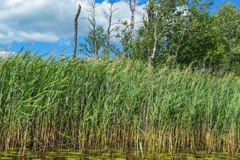 High aquatic green natural beautiful plants bushes grass reeds against the backdrop of the river bank and blue sky.  royalty free stock images