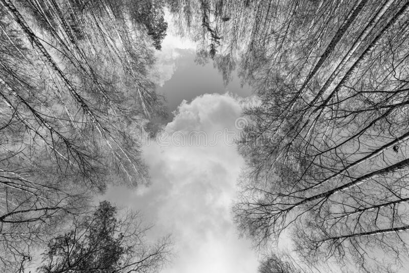 High bare trees in the forest low angle view. Black and white image royalty free stock images