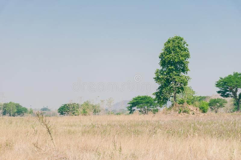 High big green tree in grass field and sky. Background in arid climate,summer season,Thailand,Asia royalty free stock images