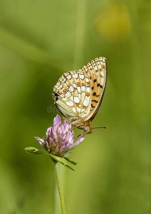 High Brown Fritillary Butterfly stock photos