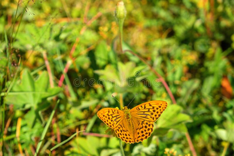 High brown fritillary butterfly on a meadow stock photo