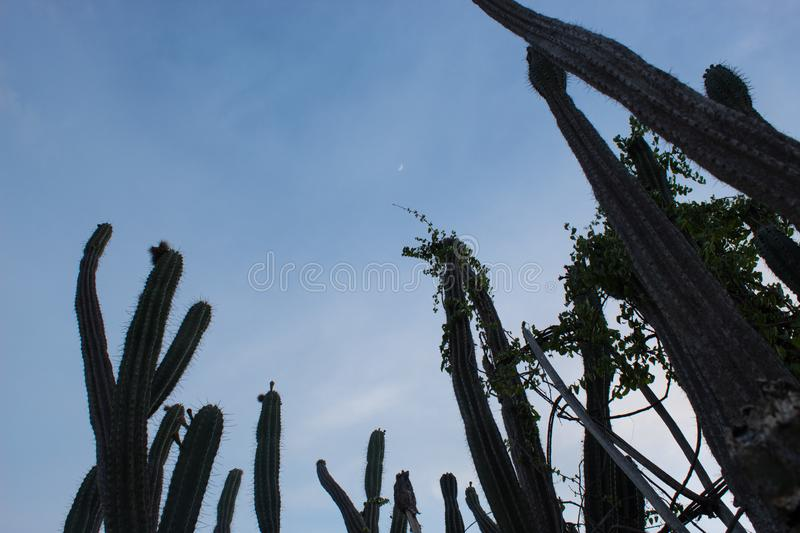 High Cactus in evening at Tatacoa Desert. High Spined Cactus with Wixed Crescent Moon at Tatacoa Desert, Huila, Colombia stock photo