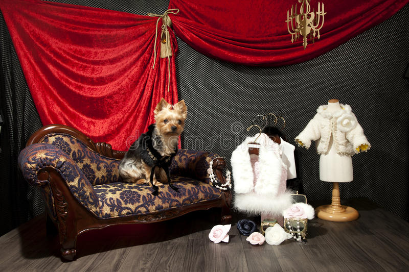 High class pooch royalty free stock photo