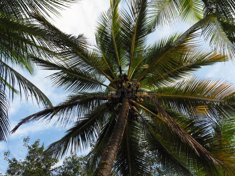 High coconut tree with coconuts and blue sky background in tropical Suriname South-America stock photos