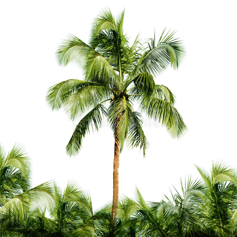 High coconut tree isolated on white background stock photos