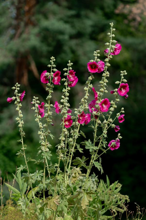 High contrast blooming red hollyhock against a dark background royalty free stock photos