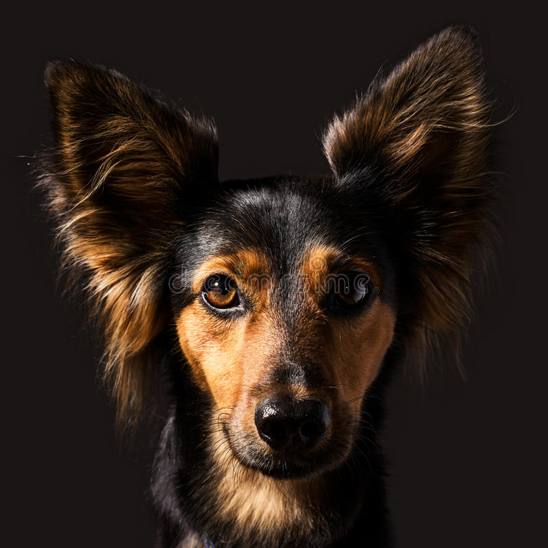 High Contrast Studio Dog Portrait on dark background. A closeup, high contrast classic studio dog portrait with side lighting of a black and brown mixed breed royalty free stock photography