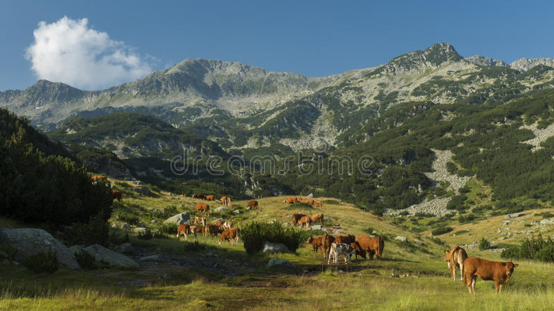High cows royalty free stock photo