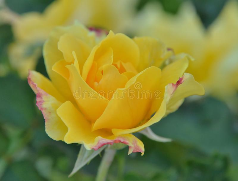 High and Cream yellow rose in early morning royalty free stock images