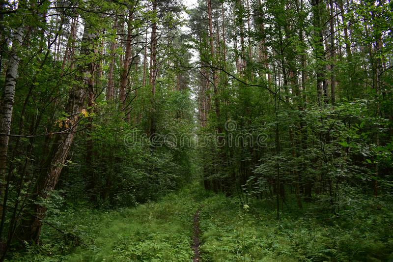 High deciduous forest set of trees over the direct path, receding into the distance, a green fluffy carpet of grass. Is spread royalty free stock photography