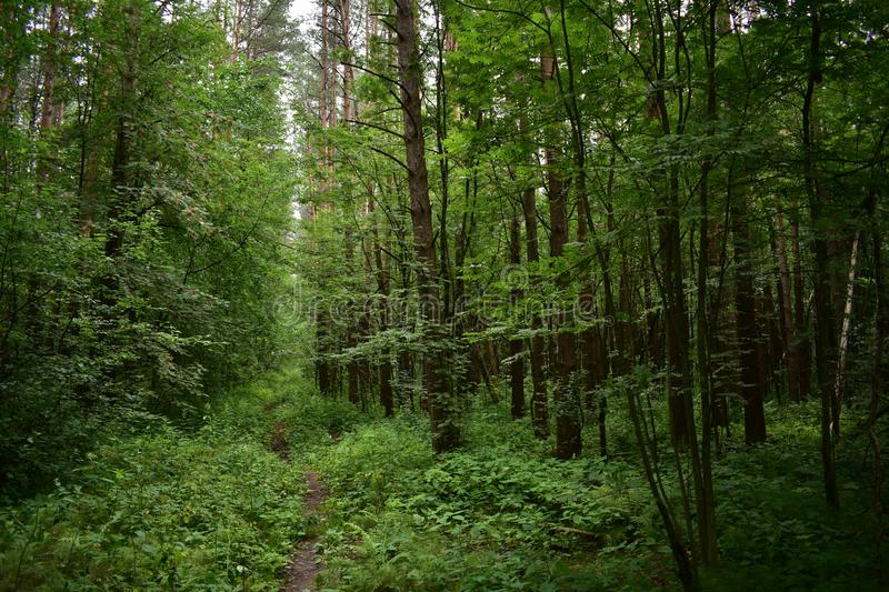 High dense forest a set of trees over the direct path, receding into the distance, a green fluffy carpet of grass. Is spread royalty free stock image