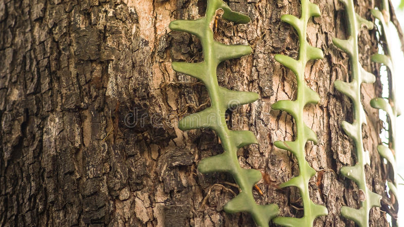 High Detail. Of cipo in a tree stock photo