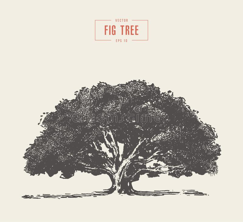 Free High Detail Vintage Fig Tree, Hand Drawn, Vector Stock Photos - 125202583