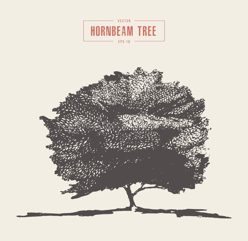 Vintage hornbeam tree hand drawn vector sketch vector illustration